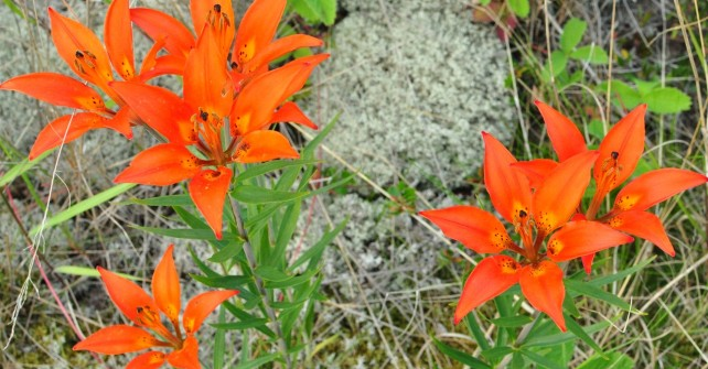 clearwater woodlillies