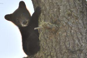 Bears in the BWCA